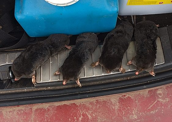 Four moles trapped in one day on one site off a large paddock.