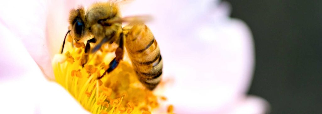pestinator pest control lincolnshire, honey bee removal service