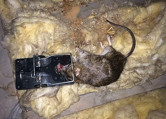 Rat trapped in loft space that had been causing damage to cables & storage in loft.