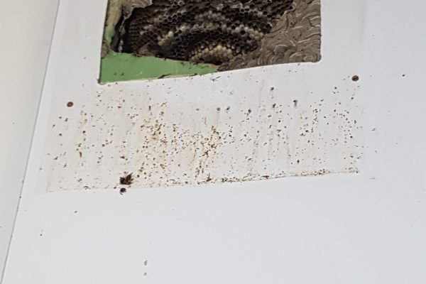 wasp nest in air brick cavity before removal