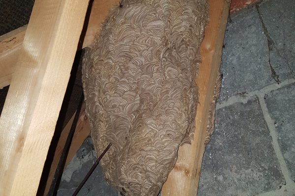 Large wasp nest in loft space.
