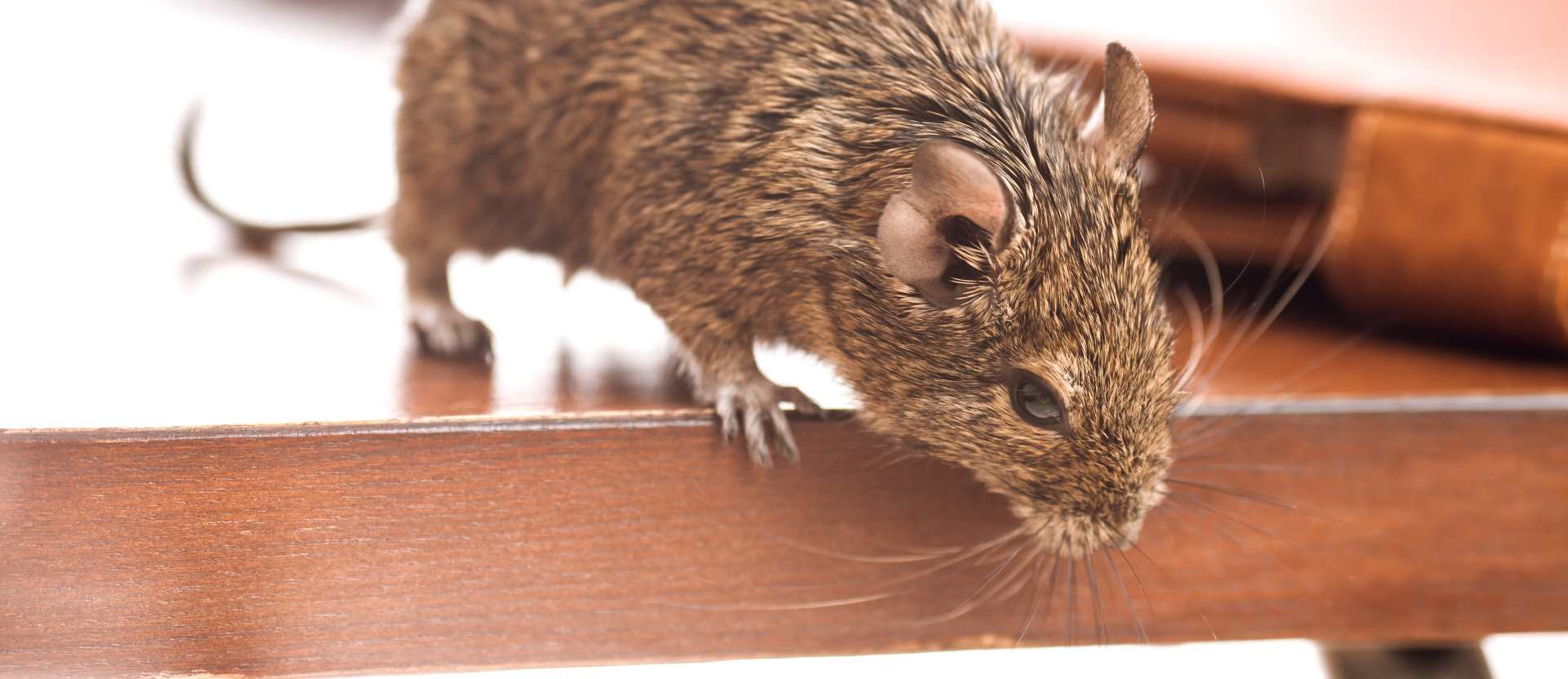 Rodent Pest Control in Boston