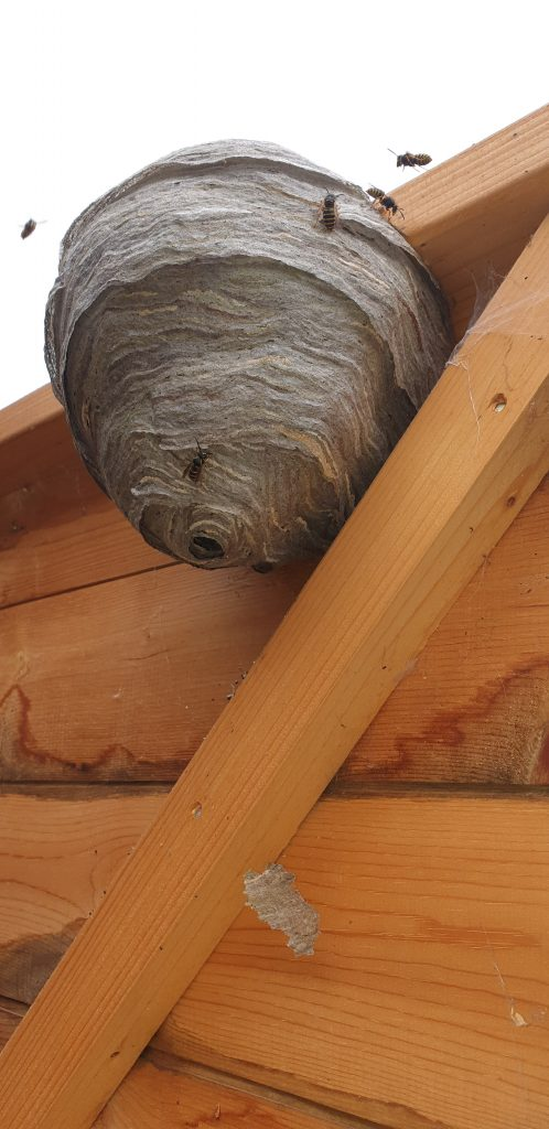 wasp nest boston